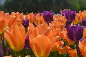 tulip orange and purple