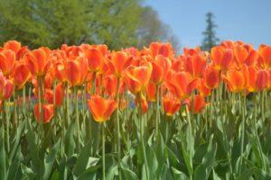 tulip orange row