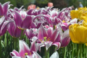 tulip pink and yellow